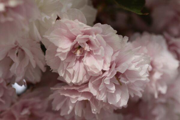 Японски вишни
