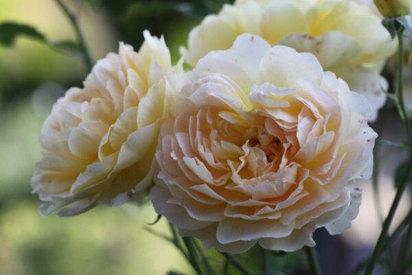 Резитба на рози