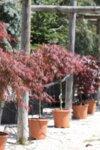 Acer palm. Tamukeyama co 7l - Японски дантелен палматум