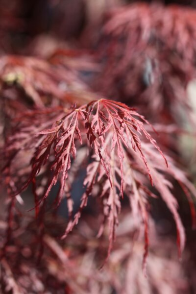Acer palm. Tamukeyama co 7l - Японски дантелен червенолистен палматум