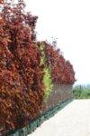Acer plat. Crimson Sentry
