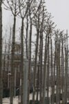 Fraxinus ornus Meczek - Кълбовиден ясен