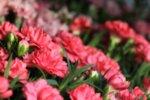 Dianthus Caryophyllos Salmon - Карамфил