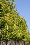 Acer plat. Princeton Gold - Норвежки клен