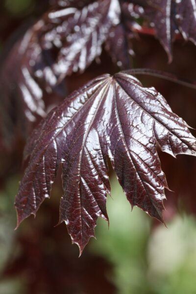 Acer plat. Royal Red co 14l  -  Червенолистен явор