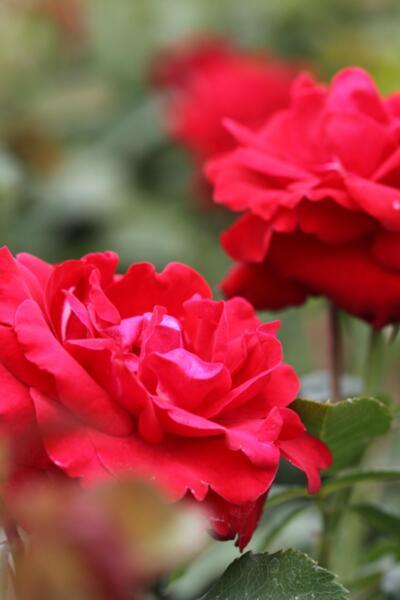 Rosa Wettra co 5l - Роза Wettra