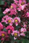 Lagerstroemia Pink Velour co 3l - Индийски люляк