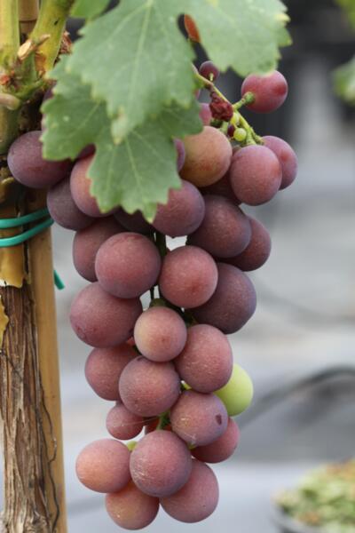 Vitis vinifera Kardinal co 4l - Десертно грозде - Черно