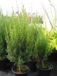 Juniperus chinensis Stricta - Хвойна
