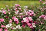 Rosa mini Red Fairy co 1.5l - Мини роза