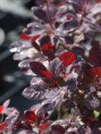 Cotinus cog. Royal Purple - Червенолистна смрадлика