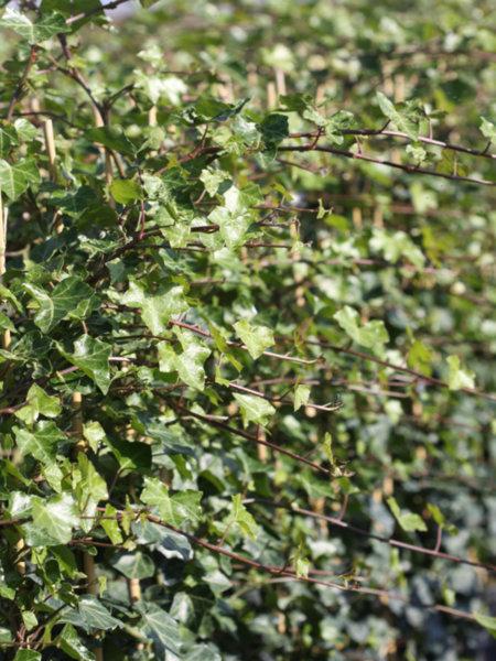 Hedera hibernica - Бръшлян