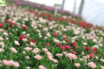 Dianthus Oscar White and Red - Карамфил
