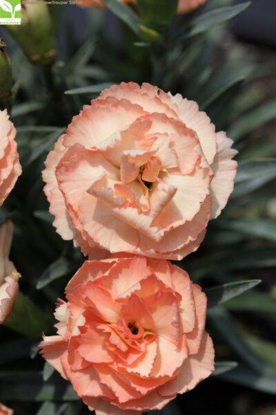 Dianthus SuperTrouper Sorbet - Крамфил