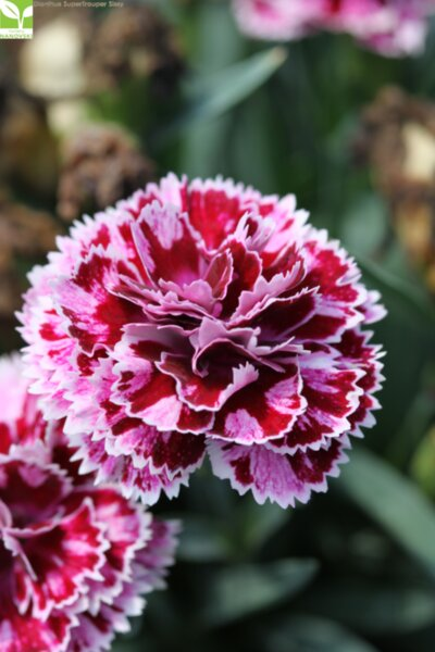 Dianthus SuperTrouper Sissy - Карамфил