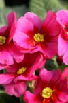 Primula Raspberry Rose - Иглика