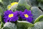 Primula vulgaris Blue - Иглика