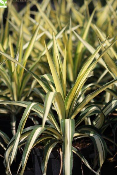 Yucca filamentosa Golden Sword - Юка