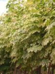 Acer plat. Drummondii - Двуцветен явор