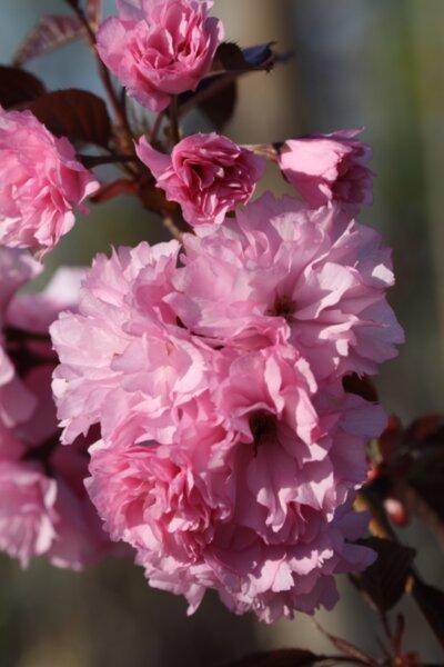 Prunus serr. Royal Burgundy co 18l - Червенолистна японска вишна щамбова