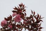 Prunus serr. Royal Burgundy - Японска вишна