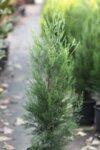 Cupressocyparis leylandii - Кипарис Лейланди