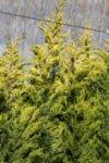 Cupressocyparis leyl. Gold Rider 200/250 см - Златен кипарис