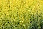 Cupressus macrocarpa Goldcrest - Калифорнийски кипарис