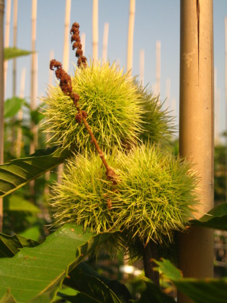 Castanea sativa - Ядлив кестен