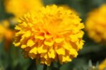 Coreopsis grandiflora Golden Sphere - Кореопсис