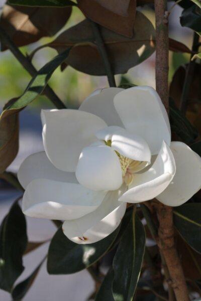 Magnolia grand. Little Gem - Вечнозелена магнолия