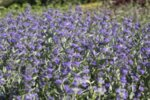 Caryopteris cland. Heavenly Blue - Кариоптерис