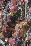 Cercis canadensis Ruby Falls - Див рожков