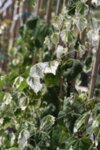 Cercis canadensis Whitewater - Див рожков