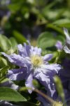 Clematis Azure Ball - Клематис