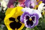 viola mix, pot 9 - Теменужка микс