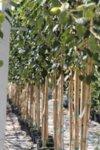 Betula utilis Doorenbos - Хималайска бреза