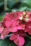 Hydrangea macr. Alpengluhen - Хидрангея