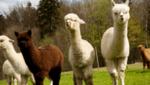 Да поговорим за преждата от алпака