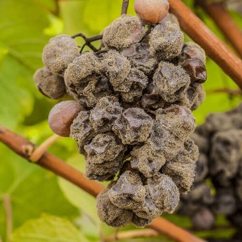 Плесен по гроздето