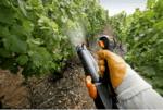 Грижи за лозята: Защита от болести и неприятели