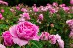 Успешно извеждане на борба с Агрилус по маслодайната роза