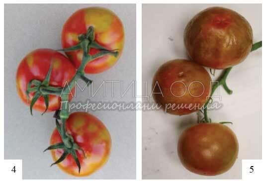 Ново Вирусно кафяво набраздяване по доматите и пипер ToBRFV
