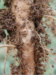 . Колониите на бактерията покриват повърхността на корена на слънчогледа и маслодайната рапица, като образува колонии които инхибират развитието на склероциите.
