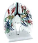 Бял дроб - модел, GD0319