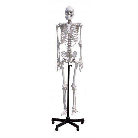Човешки скелет 85 см, GD0111