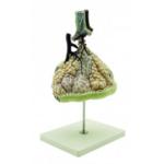 Модел на пулмонарни алвеоли, GD0320