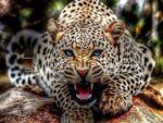 Диамантен гоблен Тигър 50 х 70 см