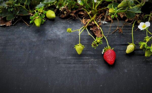 Лечение с корени и листа на дива ягода
