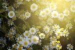 Лайката - една от най-търсените лечебни билки.Лековитите й свойства и събиране. Рецепти.